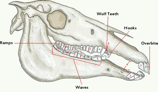 A diagram of a horses skull.