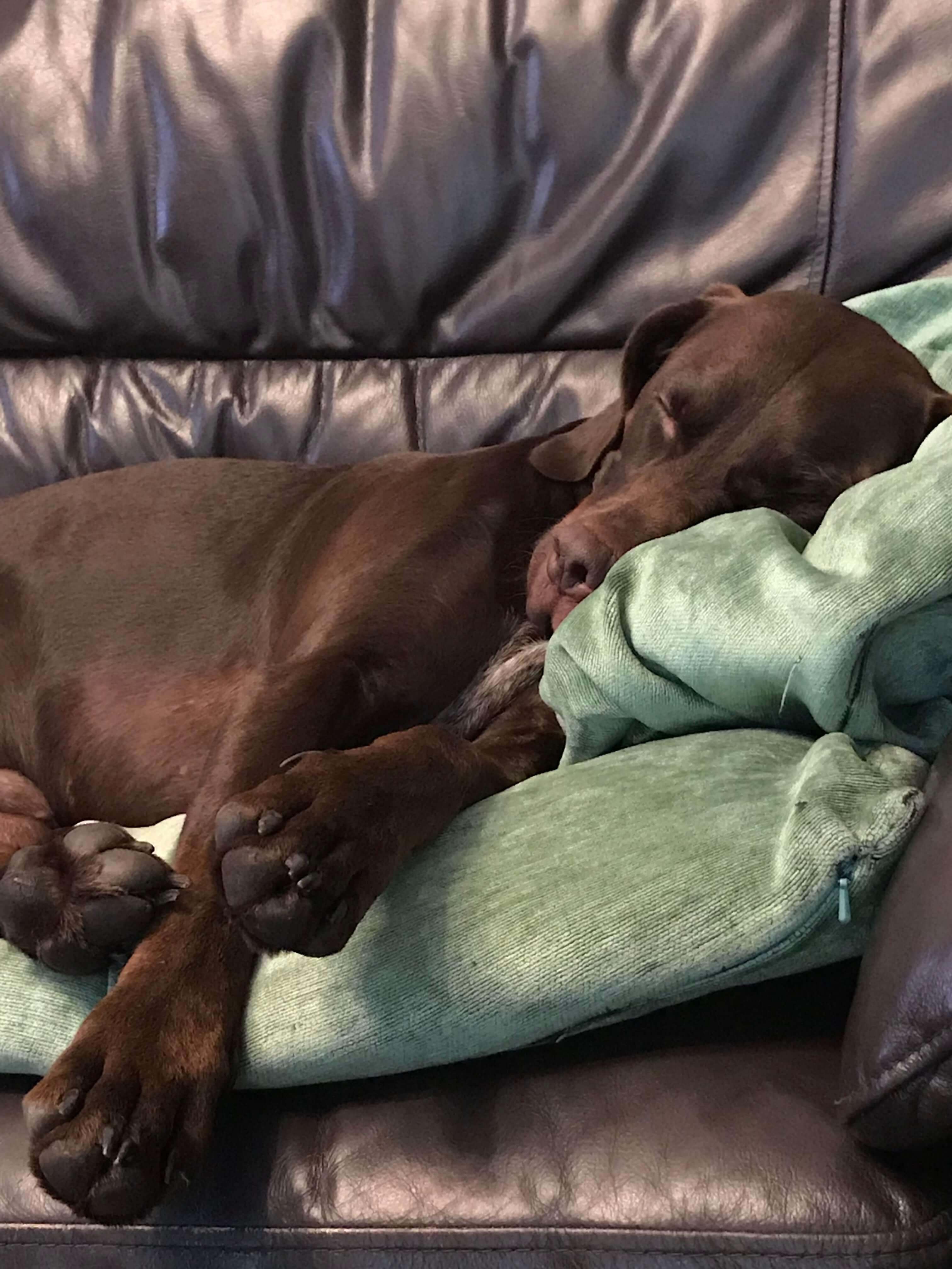 Brown dog Sofa