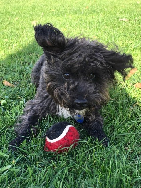 Small dog playing with ball