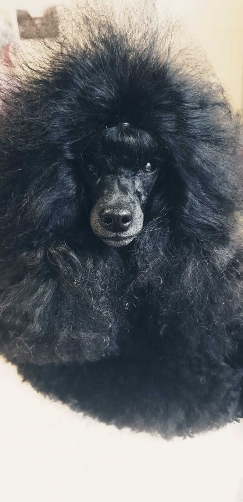 Freshly groomed Poodle