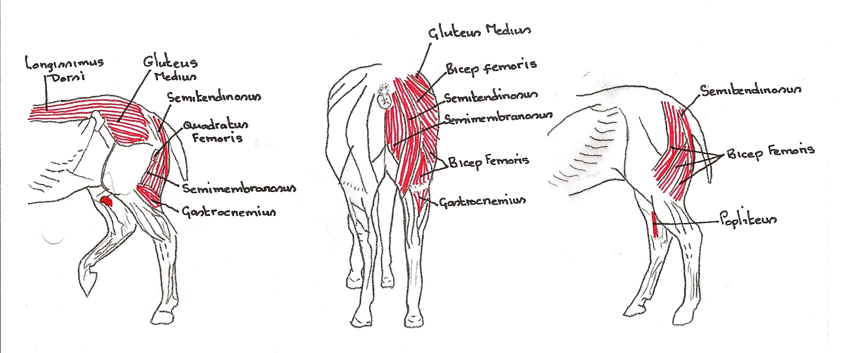 How does massage improve my horse - Musclebound