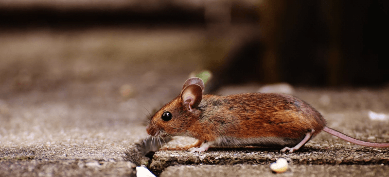 mouse walking along the ground