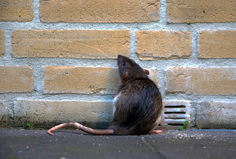 Brown Rat finding a way inside the home