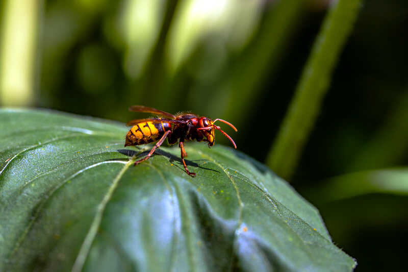 European Hornet Vespa Crabro on a leaf