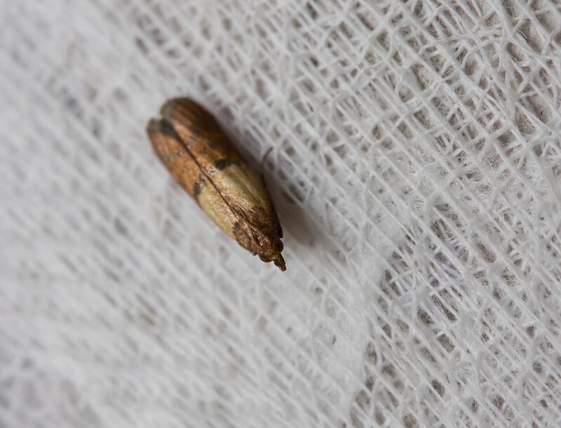 indian meal moth Plodia interpunctella