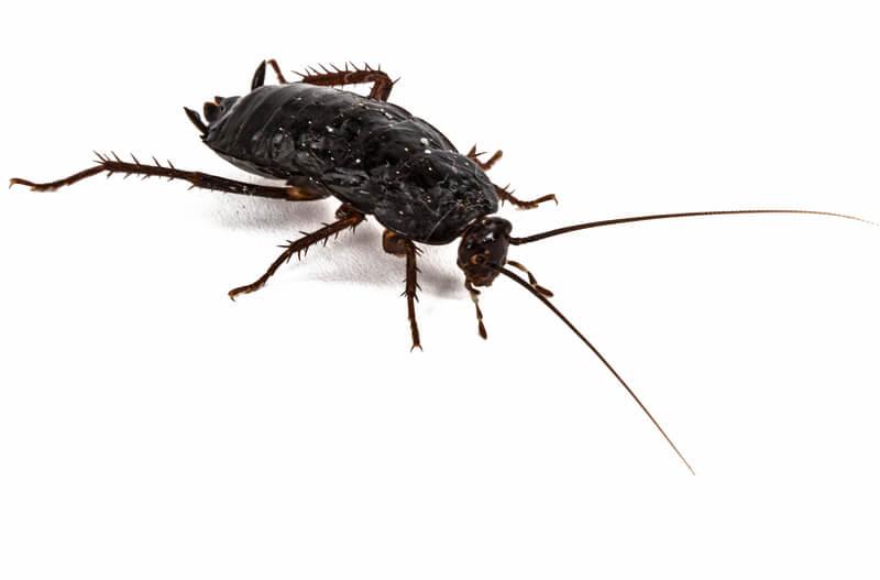 black oriental cockroach