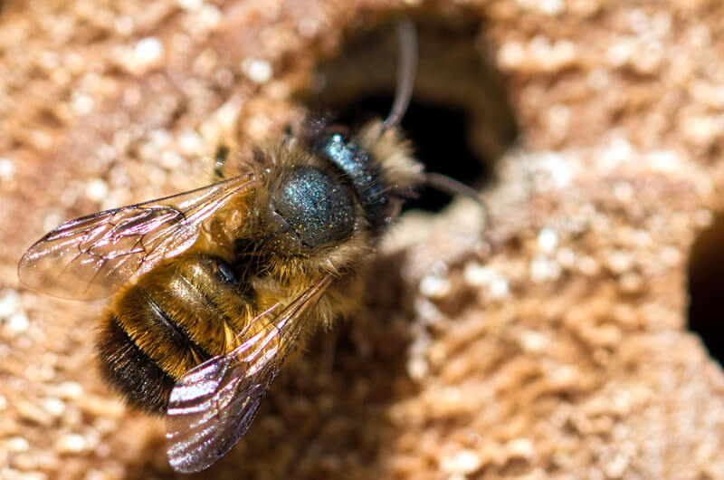 Mason bee burrowing into mortar