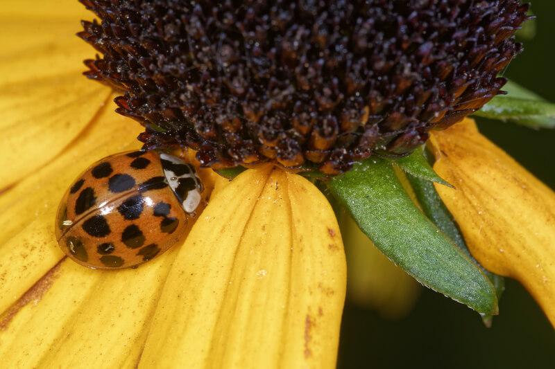 invasive harlequin ladybird on flower