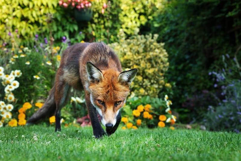 red fox creeping through back garden