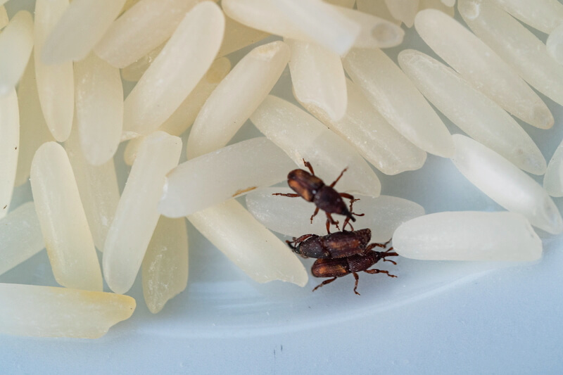 rice grains close up with rice weevil pest causing damage