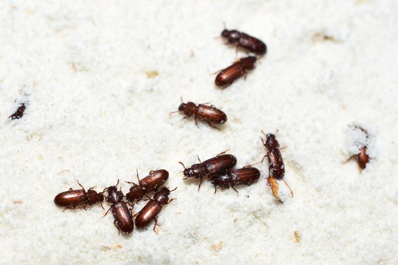 Confused flour beetle Tribolium confusum