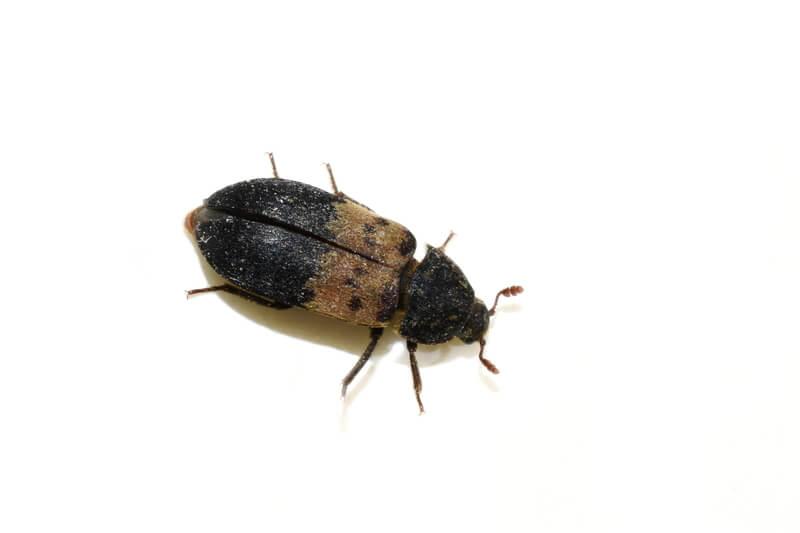 Larder beetle on white surface