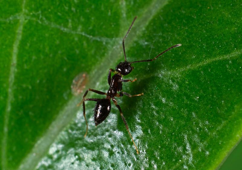 Black garden ant on leaves