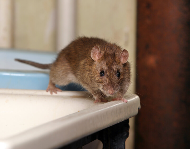 Brown rat on a table.