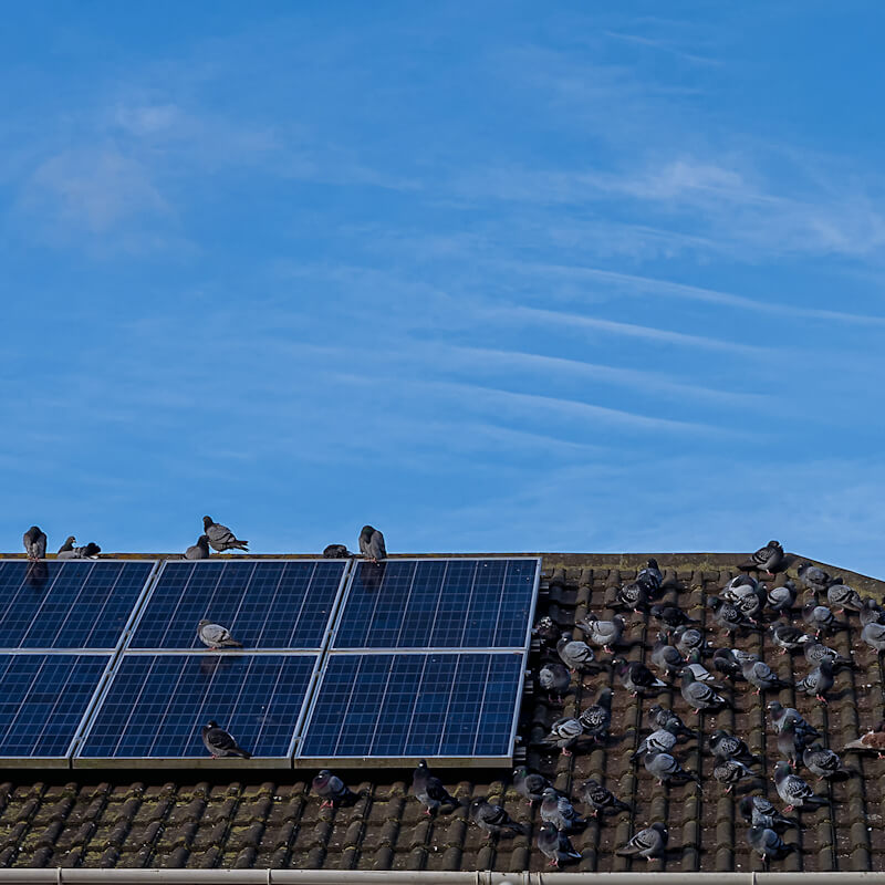 Pigeons gathered on roof and on their solar panels
