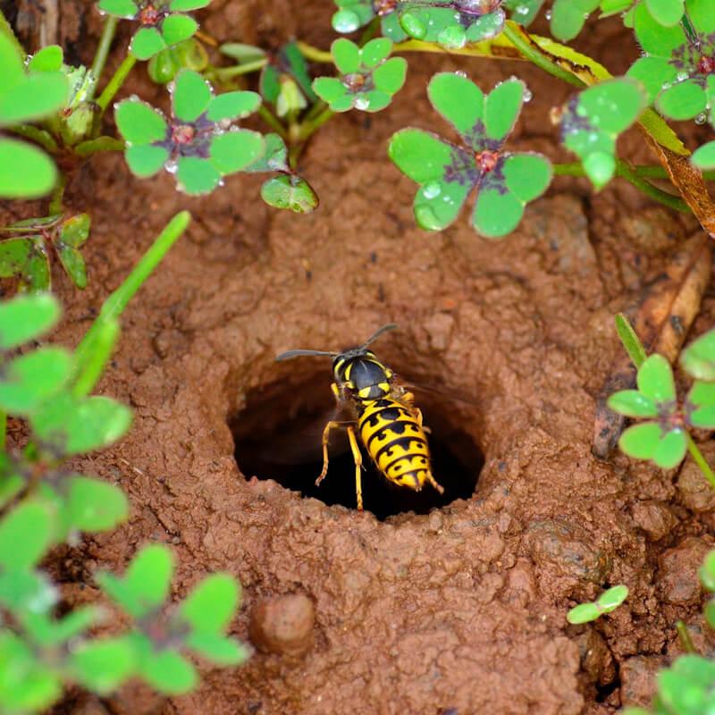 Wasp entering underground nest