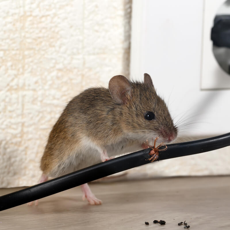 Mouse chewing through household electrical cables