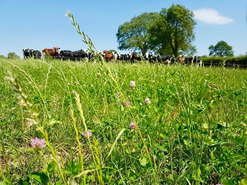 Herd of cattle in a field