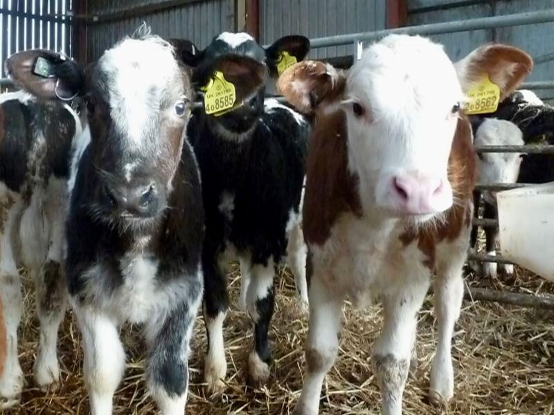 Calves together under cover