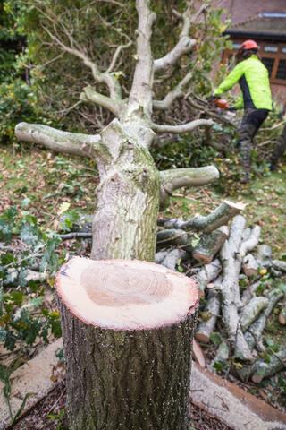tree surgeon cutting oak tree in garden