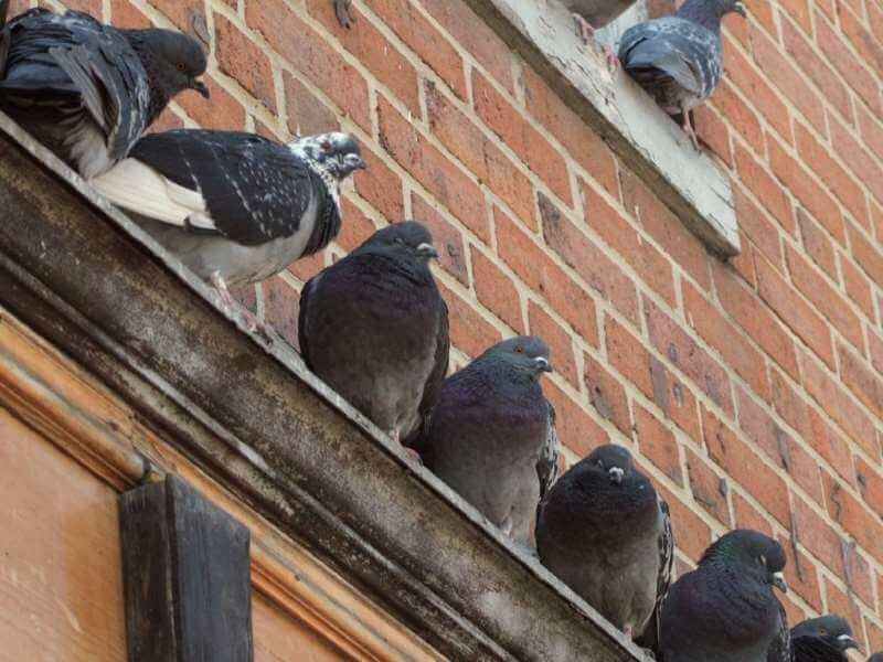 Pigeons roosting on building