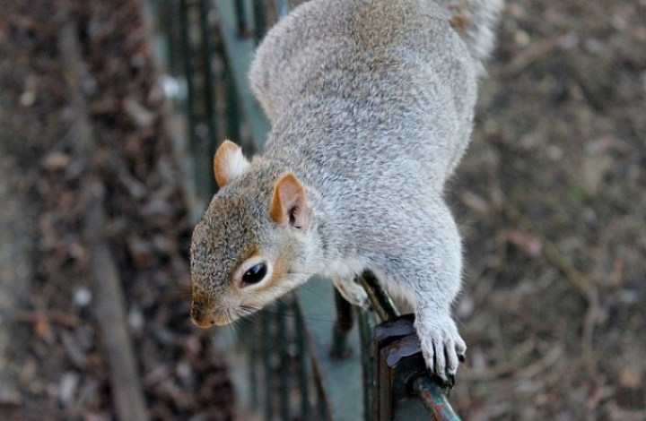 Squirrel climbing on fence