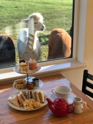Alpaca Chat Experience & Afternoon Tea Gift Voucher for 1 person