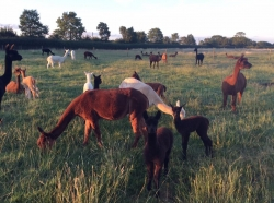 Alpaca Chat - Sunday 22nd October 2017 11am