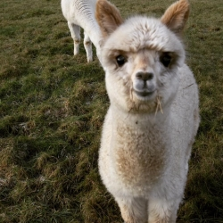 Alpaca Chat - Sunday 1st July 2018 11am