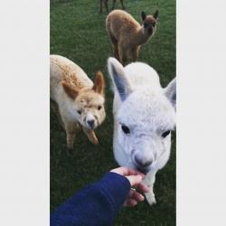 Alpaca Chat - Saturday 26th August 2017 11am
