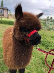 Alpaca Trekking Experience Voucher for 1 person