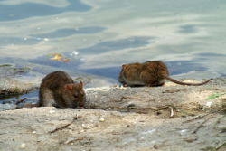 Rodent Pest Control in Cambridge