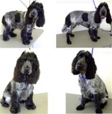 Top Dog Grooming- Oscar – Cocker spaniel