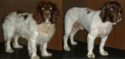 Top Dog GroomingHarvey – English Springer Spaniel