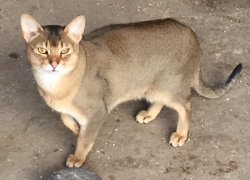 Chausie / Jungle Cats Aberdeenshire - Gayzette Exotic Cats