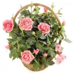 Mother's Day Planted Rose Basket