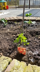 The Tomatoes are Growing!