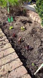 The Chilldren's Lettuce Plants