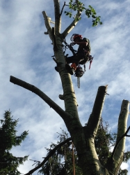 tree surgeon in tree