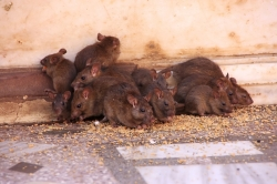 Rat and Mice Control Stoke-On-Trent
