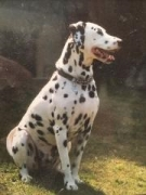 My first deaf Dalmatian.   Never another like him and sorely missed every day xx