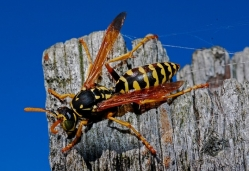 Wasp sitting on wooden post