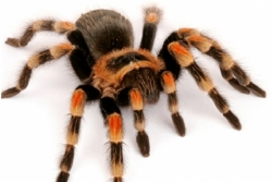 Mexican Red Knee (B.smithi)