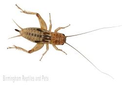 Brown Crickets