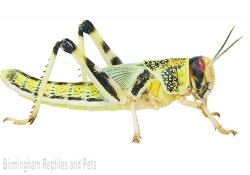 Locusts (Super Packs)