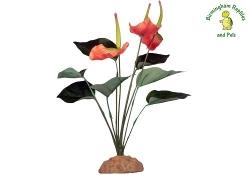 Komodo Anthurium Bush