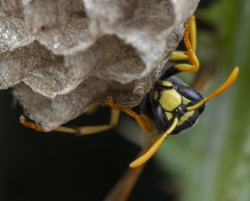 Wasp and Wasp Nest