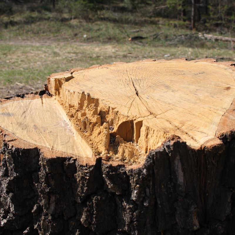 Cut down tree stump