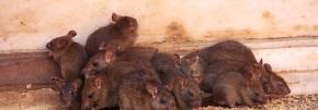 Rats / Mice