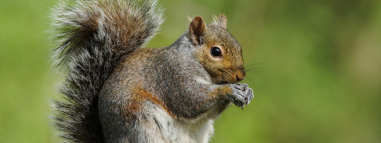 Squirrel sat on a tree stump